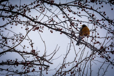 springtime robin