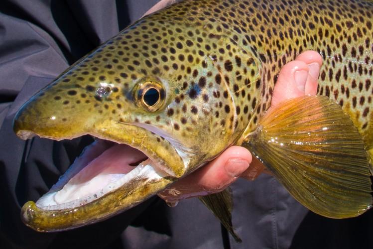 Bitterroot brown trout