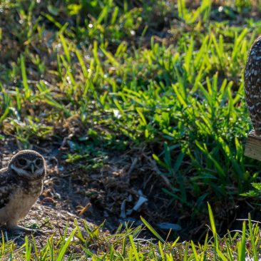image of Hoot Owl
