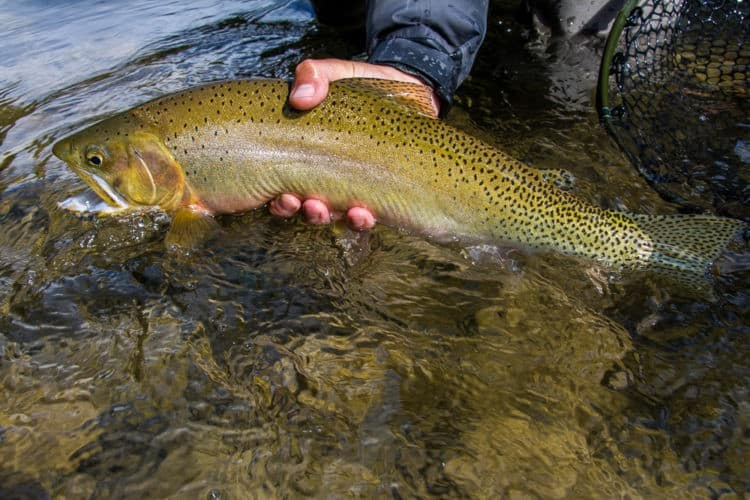 image of westslope cutthroat trout