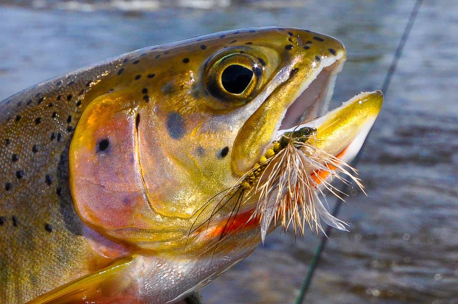 Montana Trout Guides