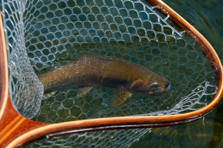 Missoula cutthroat trout