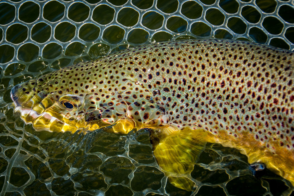 image of Missouri River Fishing Brown Trout