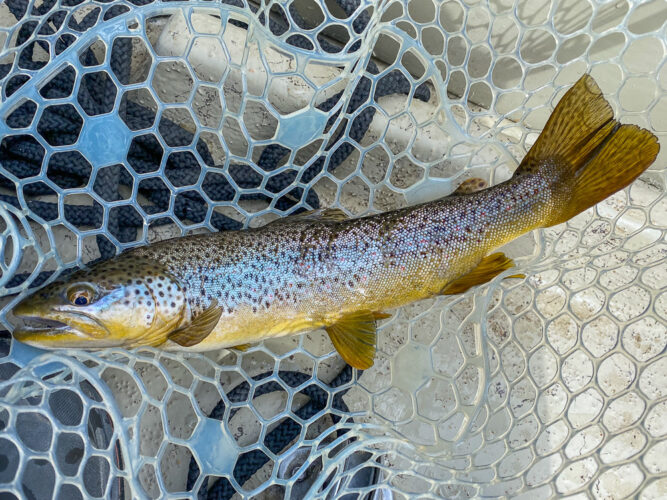 Dry fly fishing - big brown trout were biting