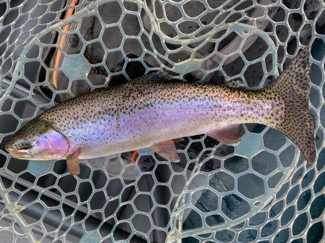 Bright rainbow with a big tail caught on the Bitterroot River rises