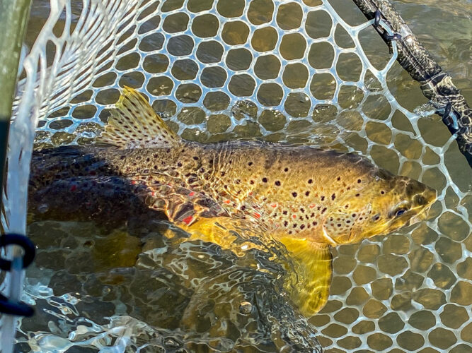 Several quality brown trout in the net today