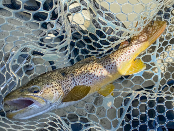 Old battle scarred brown trout