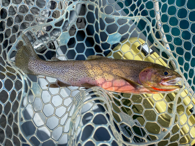 Colored up west slope cutthroat in the net - Spring Trout Fishing on the Bitterroot