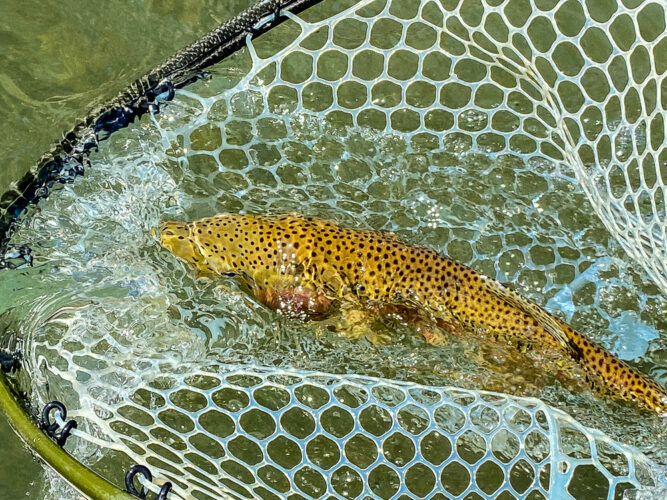 Healthy rainbow ready for release on the Bitterroot River