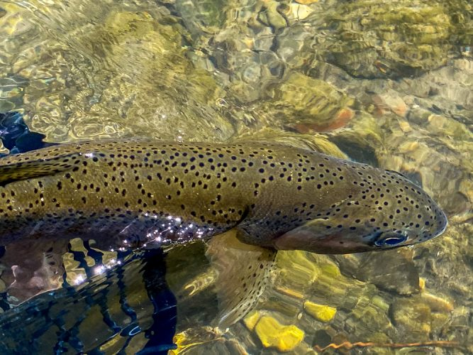 Lots of nice rainbows in the net - Best Montana Fishing Guide