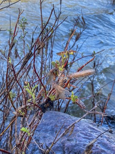 Salmonflies out in force on the Blackfoot River - Trout Fishing Montana