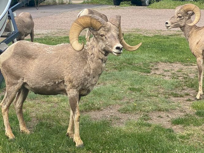 Welcoming committee on the Missouri River - Bighorn Sheep