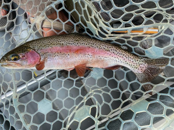 Colorful rainbow on the dry - Missoula Trout Fishing