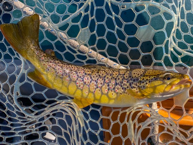 Colorful brown trout in the net - Missoula Trout Fishing