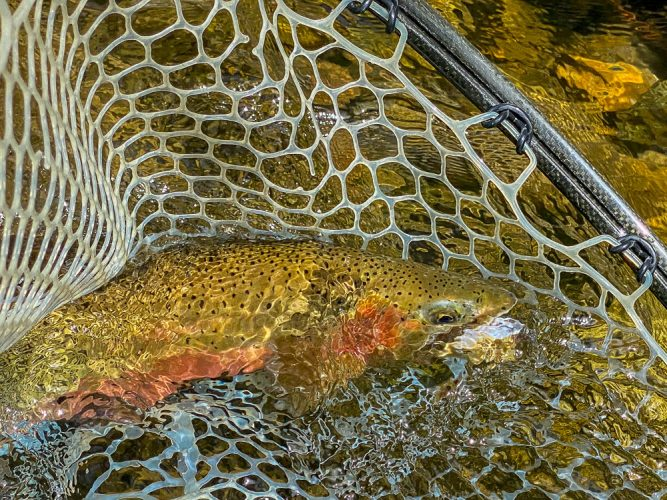 Lots of quality cutthroat in the net today - Missoula Trout Fishing