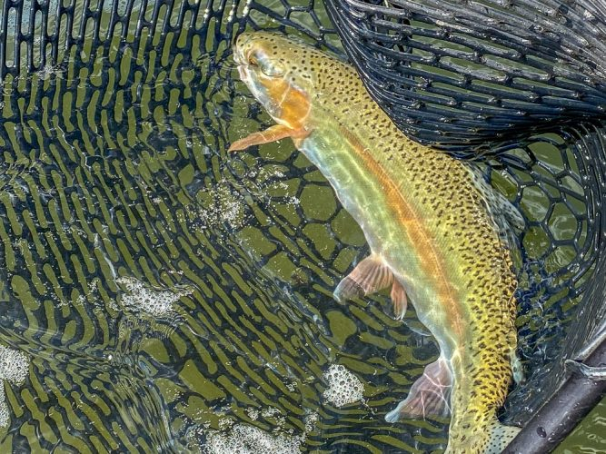 Nice sized cuttbows today - Missoula Trout Fishing