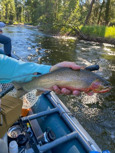 A few of the good ones in the morning - Missoula Trout Fishing