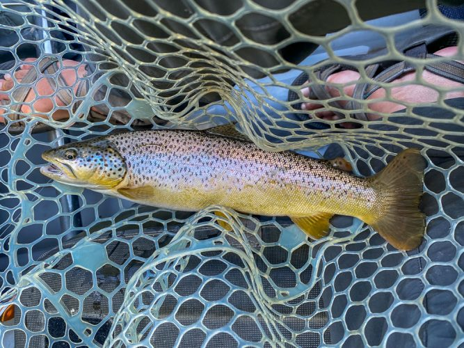 Another nice brown on the dry fly - Trout Fishing Montana
